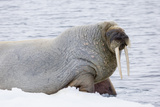 Norway, Svalbard, Pack Ice, Walrus on Ice Floes Fotografisk tryk af Ellen Goff