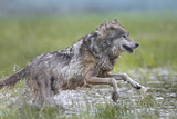 Close-Up of Gray Wolf Bounding, Summer, Montana Lámina fotográfica por Tim Fitzharris