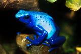 South America, Surinam. Dendrobates Azureus, Blue Poison Arrow Frog on Rainforest Floor Fotografisk trykk av David Slater