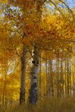 Wyoming, Grand Teton National Park. Autumn Aspen Photographic Print by Judith Zimmerman