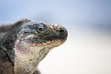 Close-Up of an Iguana on the Beach Near Staniel Cay, Exuma, Bahamas Reproduction photographique par James White