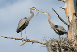 Nesting Great Blue Herons Passing Nest Material to Each Other Photographic Print by Sheila Haddad