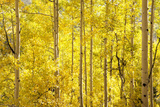 Colorado, San Juan Mountains. Aspen Trees in Autumn Color Photographic Print by Jaynes Gallery