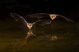 Arizona, Pallid Bat Drinking Lámina fotográfica por Ellen Goff