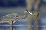 Great Blue Heron with Eel, British Columbia Canada Fotografisk tryk af Tim Fitzharris