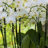 White Orchid Blooms Impressão fotográfica por Anna Miller