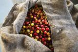 Harvested Coffee Cherries in a Burlap Sack, Kona Coast, the Big Island, Hawaii, Usa Reproduction photographique par Russ Bishop