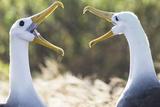 Ecuador, Galapagos Islands, Espanola, Punta Suarez,. Waved Albatrosses Interacting Reproduction photographique par Ellen Goff