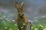 Snowshoe Hare, Ontario, Canada Fotografisk tryk af Tim Fitzharris