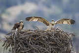 Wyoming, a Young Osprey Flaps it's Wings in Preparation for Fledging as Adult Looks On Reproduction photographique par Elizabeth Boehm