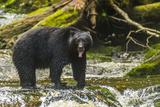 Canada, British Columbia, Inside Passage. Black Bear Fishing on Qua Creek Fotoprint van Jaynes Gallery