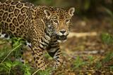 Mexico, Panthera Onca, Jaguar in Forest Fotografie-Druck von David Slater