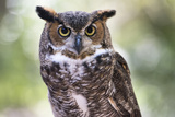 Close Up Portrait of Great Horned Owl Looking at You Photographic Print by Sheila Haddad