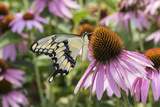 Giant Swallowtail Butterfly on Purple Coneflower Marion County, Il Reproduction photographique par Richard and Susan Day