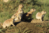 Prairie Dog Family in Theodore Roosevelt National Park, North Dakota, Usa Photographic Print by Chuck Haney