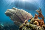 Purple Sea Fan Soft Coral , the Background, Cuba Reproduction photographique par James White