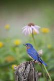 Eastern Bluebird Male in Flower Garden, Marion County, Il Lámina fotográfica por Richard and Susan Day