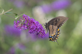 Eastern Tiger Swallowtail Butterfly Female on Butterfly Bush, Marion County, Il Reproduction photographique par Richard and Susan Day