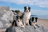 Three Border Collies on Boulder at Beach Reproduction photographique par Zandria Muench Beraldo