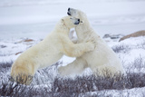 Polar Bears Sparring in Churchill Wildlife Management Area, Churchill, Manitoba, Canada Reproduction photographique par Richard and Susan Day