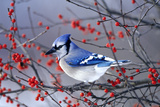 Blue Jay in Winterberry Bush in Winter Marion County, Illinois Reproduction photographique par Richard and Susan Day