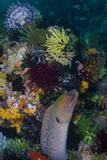 Indonesia, Bima Bay. Moray Eel and Coral Lámina fotográfica por Jaynes Gallery
