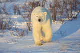 Polar Bear in Churchill Wildlife Management Area, Churchill, Manitoba, Canada Reproduction photographique par Richard and Susan Day
