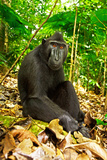 Asia, Indonesia, Sulawesi. Crested Black Macaque Adult Relaxing in Rainforest Fotografisk trykk av David Slater