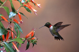 Ruby-Throated Hummingbird Male at Cigar Plant, Shelby County, Illinois Reproduction photographique par Richard and Susan Day