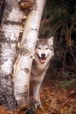 Gray Wolf in a Forest Lámina fotográfica por John Alves