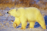 Polar Bear Walking, Churchill, Manitoba, Canada Reproduction photographique par Richard and Susan Day