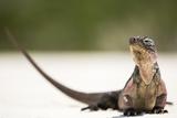 Close-Up Portrait of an Iguana on the Beach Near Staniel Cay, Exuma, Bahamas Reproduction photographique par James White