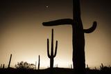Saguaro Cactus at Sunset, Organ Pipe Cactus National Monument, Usa Reproduction photographique par Russ Bishop