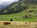 Switzerland, Bern Canton, Murren, Cows Grazing in Alpine Pastures Reproduction photographique par Jamie And Judy Wild