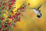 Ruby-Throated Hummingbird Female on Lady-In-Red Salvia, Shelby County, Illinois Reproduction photographique par Richard and Susan Day