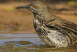 Texas, Hidalgo County. Curve-Billed Thrasher Bathing Reproduction photographique par Jaynes Gallery