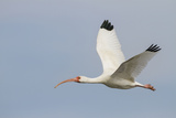 White Ibis in Flight Reproduction photographique par Larry Ditto