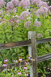 Joe Pye Weed and Purple Coneflowers Along Fence, Marion County, Illinois, Pr Photographic Print by Richard and Susan Day