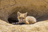 Wyoming, Lincoln County, a Red Fox Kit Lays in Front of it's Den in the Desert Reproduction photographique par Elizabeth Boehm