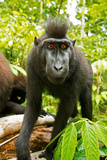Asia, Indonesia, Sulawesi. Crested Black Macaque Juvenile in Rainforest Fotografisk trykk av David Slater