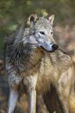 Portrait of a Gray Wolf, Montana Fotografie-Druck von Tim Fitzharris
