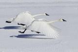 Trumpeter Swans Taking Flight Impressão fotográfica por Ken Archer