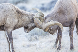 Wyoming, Jackson, National Elk Refuge, Two Bighorn Sheep Rams Lock Horns During the Rut Reproduction photographique par Elizabeth Boehm
