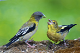Young Evening Grosbeak Being Fed Reproduction photographique par Richard Wright