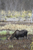 Alaska, Moose Off Seward Highway Near Girdwood Photographic Print by Savanah Stewart