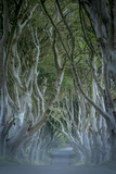18th Century Beech Tree Lined Road known as Dark Hedges, County Antrim, Northern Ireland Premium Photographic Print by Brian Jannsen