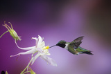 Ruby-Throated Hummingbird Female on Mckana's Hybrid Columbine, Shelby County, Illinois Reproduction photographique par Richard and Susan Day