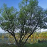 Willow Tree at Lackawanna Lake in Autumn, Lackawanna State Park, Pennsylvania, Usa Photographic Print by Tim Fitzharris