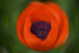 Orange Poppy Photographic Print by Savanah Stewart