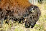 Wood Bison in Northern B.C Reproduction photographique par Richard Wright